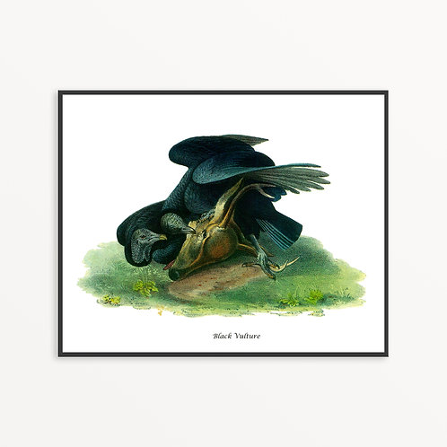 Black Vulture Hand Drawn illustration