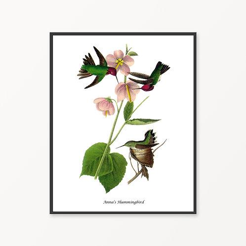Anna`s Hummingbird Hand Drawn illustration