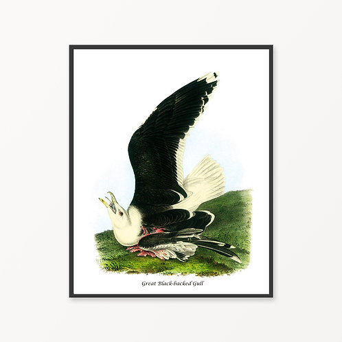 Great Black-backed Gull Hand Drawn illustration