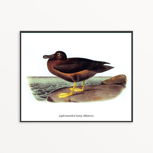 Light-mantled Sooty Albatross Hand Drawn illustration