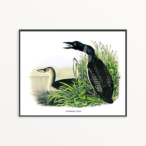 Common Loon Hand Drawn illustration