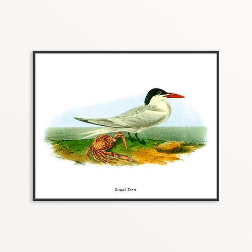Royal Tern Hand Drawn illustration