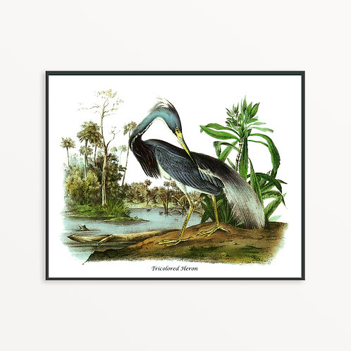 Tricolored Heron Hand Drawn illustration