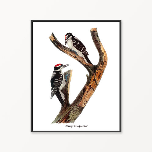 Hairy Woodpecker Hand Drawn illustration