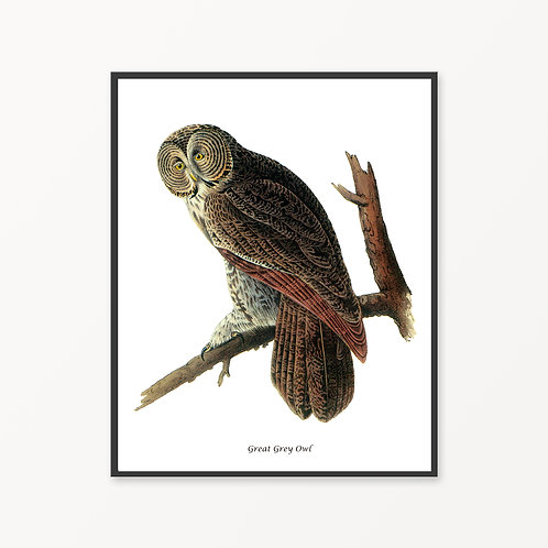 Great Grey Owl Hand Drawn illustration