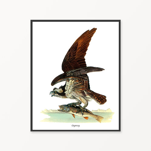 Osprey Hand Drawn illustration