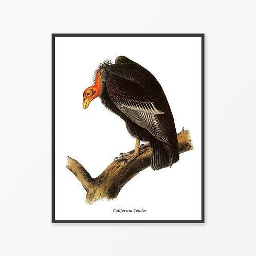 California Condor Hand Drawn illustration