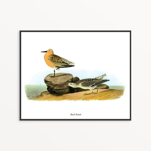 Red Knot Hand Drawn illustration