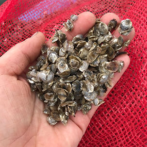 baby oysters, oyster rearing, oyster care, how to raise an oyster, nh oysters, oyster seed