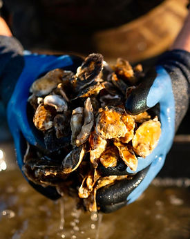 local, fresh oysters, little bay oysters, great bay oysters, nh oysters