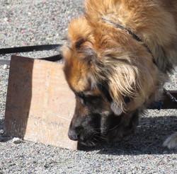 scentwork dog5