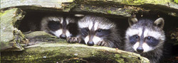 03_racoons_edited