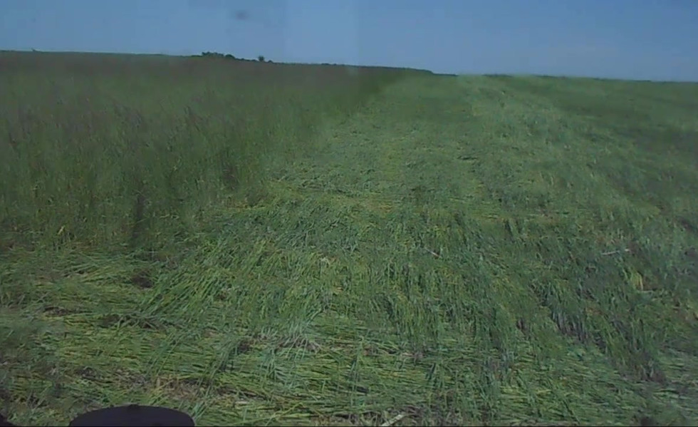 Roller Crimping Cereal Rye after planting the soybeans