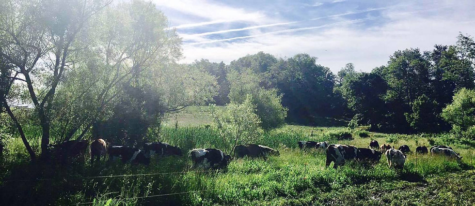 cows in a field june 2017.jpg