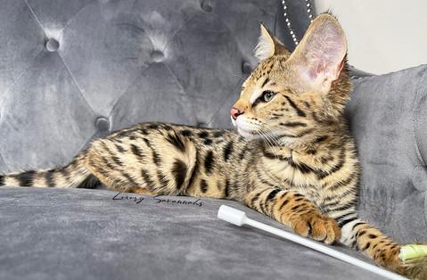 F1 Savannah Kitten _Leonidas_