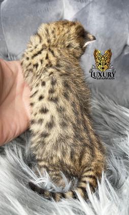 F2 Savannah Kitten Male