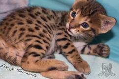 Luxury Savannahs F4 Savannah Kitten