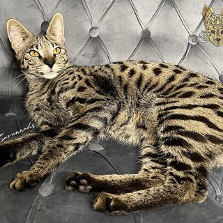 F1 Savannah Queen Artemis
