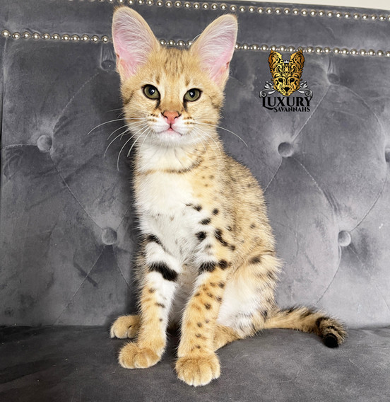 F1 Savannah Kitten _Tigger_
