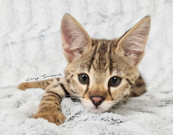 F1 Savannah Kitten AJAX