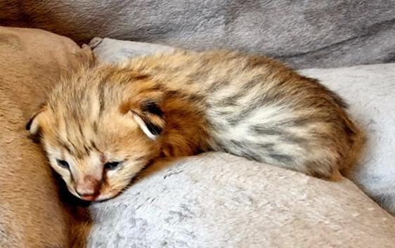 F1 Savannah Kitten March 2021