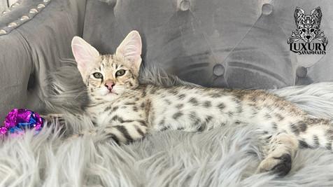 F1 Savannah Kitten Silver