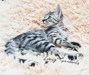 F3 Savannah Kitten