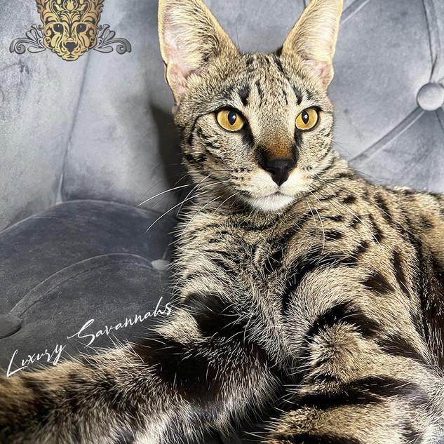 F1 Savannah Queen Artemis.jpg
