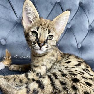 HP F1 Savannah Kitten CIRCE