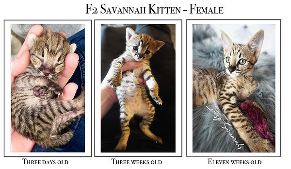 F2 Savannah Kittens 3 days old to Eleven