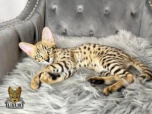 F2 Savannah Kitten - Luxury Savannahs