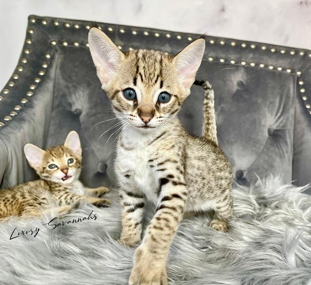 F2 Savannah Kitten _ODINI_