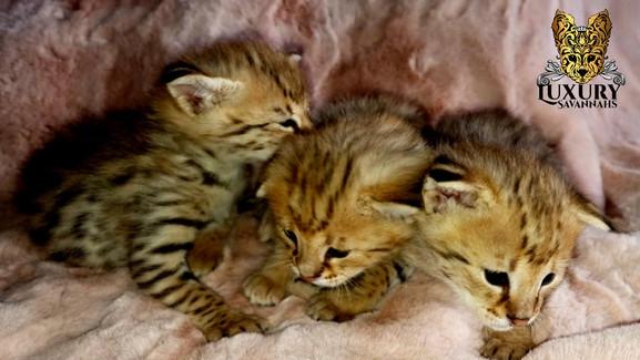 F1 Savannah Kittens - Luxury Savannahs