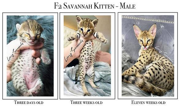 F2 Male Savannah 3 days to 11 weeks.jpg