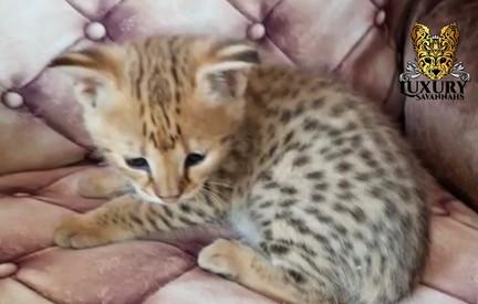 F1 Savannah Kitten 2