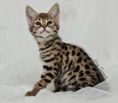 F1 Savannah Kitten LEO