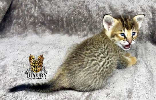 F1 Savannah Kitten _Alpha_