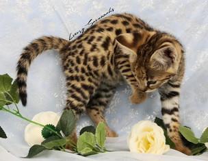 F1 Savannah Kitten ATLAS