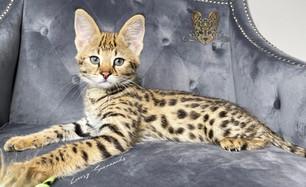 F1 Savannah Kitten _MAUI_
