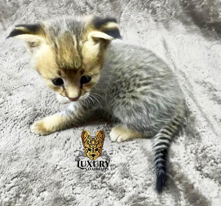 F1 Savannah Kitten _Angel_