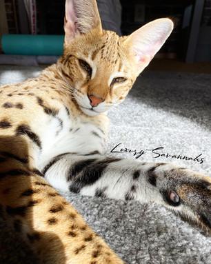 Luxury Savannahs F1 Savannahs