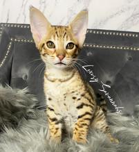 Luxury Savannahs F2 Female