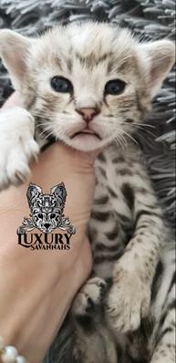Silver F1 Savannah Kitten 1