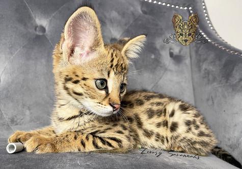 F1 Savannah Kitten _MAUI_.jpg