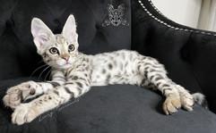 Silver F1 Savannah Kitten