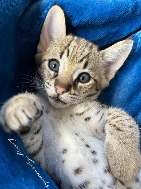 F2 Savannah Kitten _ODIN_