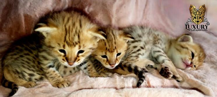 F1 Savannah Kittens - Luxury Savannahs.j