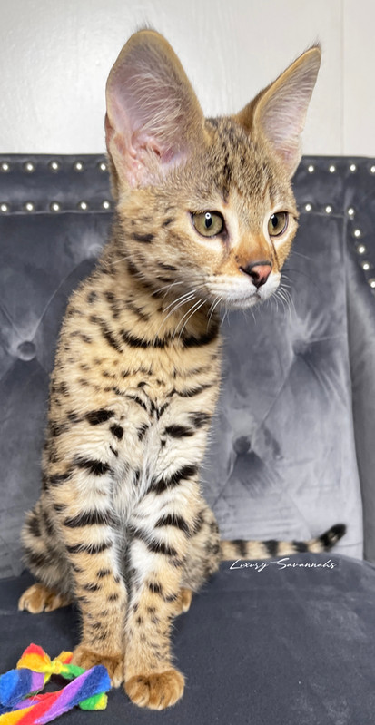 F1 Savannah Kitten