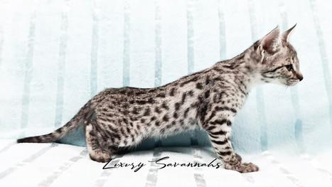 F3 Savannah Kitten Female