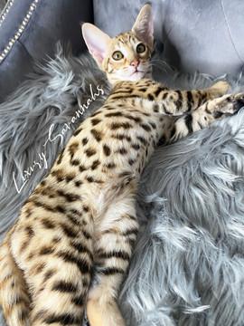Luxury Savannahs F2 Kitten